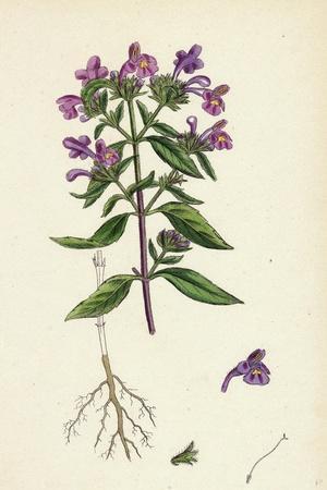 https://imgc.artprintimages.com/img/print/galeopsis-angustifolia-narrow-leaved-hemp-nettle_u-l-pvey5b0.jpg?p=0