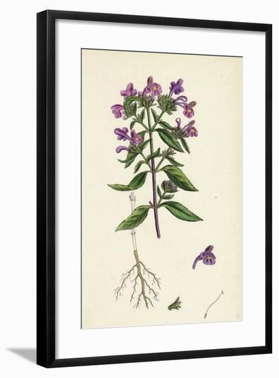 Galeopsis Angustifolia Narrow-Leaved Hemp-Nettle--Framed Giclee Print