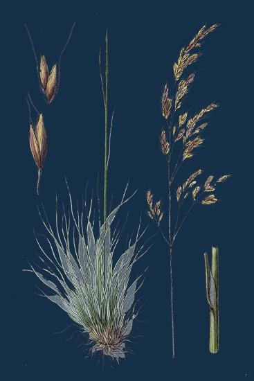 Galium Boreale; Cross-Leaved Bedstraw--Giclee Print