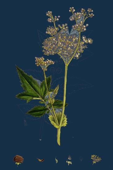 Galium Elatum; Common Great Bedstraw--Giclee Print