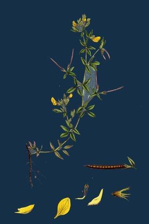 https://imgc.artprintimages.com/img/print/galium-palustre-var-witheringii-marsh-bedstraw-var-y_u-l-pves8e0.jpg?p=0