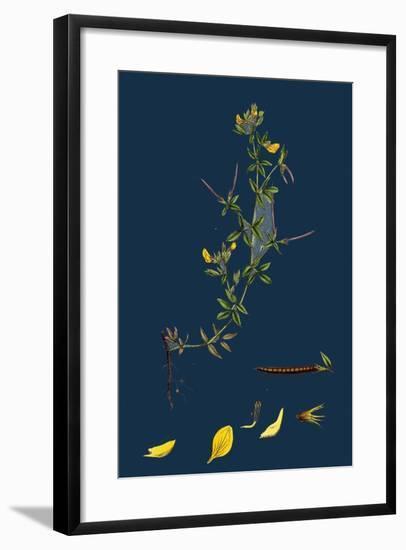 Galium Palustre, Var. Witheringii; Marsh Bedstraw, Var. Y--Framed Giclee Print