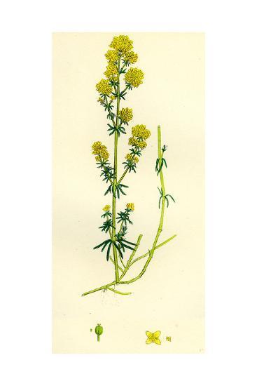 Galium Verum Yellow Bedstraw--Giclee Print