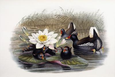 Gallinula Chloropus-John Gould-Giclee Print