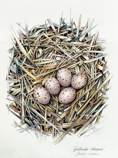 Gallinula Choepus (Moorhen), 2000-Sandra Lawrence-Giclee Print