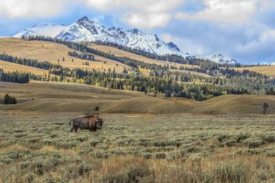 Bison by Electric Peak (YNP)