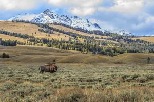 Bison by Electric Peak (YNP) by Galloimages Online