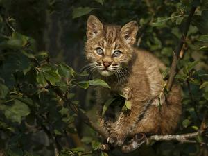 Bobcat Kitten on Branch by Galloimages Online