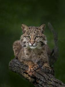 Bobcat Poses on Tree Branch 2 by Galloimages Online