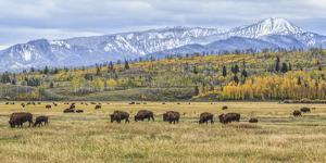 Grand Teton Bison Grazing by Galloimages Online