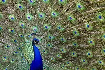 Peacock Proud