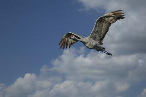 Sandhill Crane In Flight by Galloimages Online