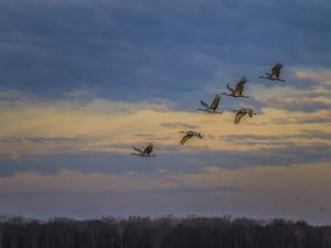 Sandhill Cranes At Sunrise by Galloimages Online