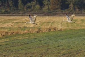 Sandhills Take Flight by Galloimages Online