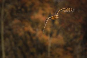 Short Eared Owl by Galloimages Online