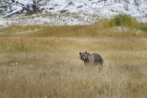 Young Grizzly In Yellowstone by Galloimages Online