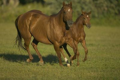 Galloping Brown Mare and Filly-DLILLC-Photographic Print