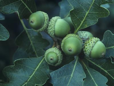 Gambel Oak Tree Leaves and Acorns, Quercus Gambelii, Southwestern North America-Doug Sokell-Photographic Print