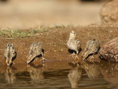 Gambel's Quail Chicks Drinking at a Waterhole (Callipepla Gambelii), Arizona, USA-Mary Ann McDonald-Photographic Print