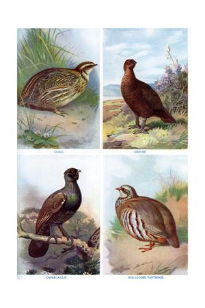 Game Birds from Harmsworth Natural History, 1910-Richard Lydekker-Giclee Print