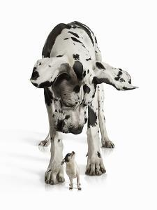 Great Dane Looking down at Chihuahua by Gandee Vasan