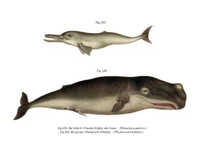 Ganges River Dolphin, 1860--Giclee Print