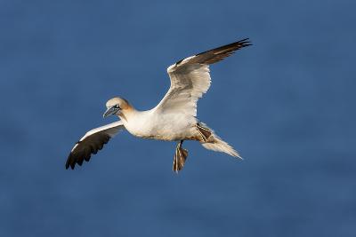 Gannet (Morus Bassanus) in Flight Above the Sea at Bempton Cliffs, Yorkshire, England-Garry Ridsdale-Photographic Print