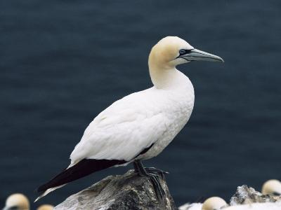 Gannet Perched on Rock, Bass Rock, East Lothian, Scotland, United Kingdom-Roy Rainford-Photographic Print