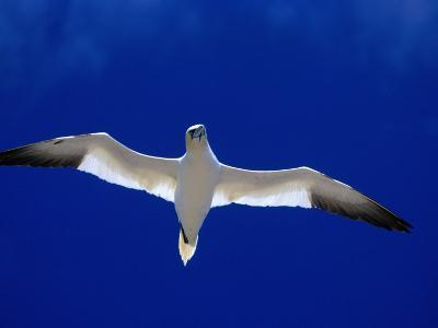 Gannet (Sula Bassana) Flying, Ireland-David Tipling-Photographic Print