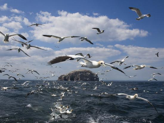 Gannets in Flight, Following Fishing Boat Off Bass Rock, Firth of Forth, Scotland-Toon Ann & Steve-Photographic Print