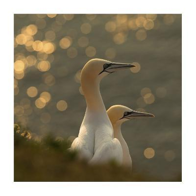 Gannets In Sunset-Karen Kolbeck-Giclee Print