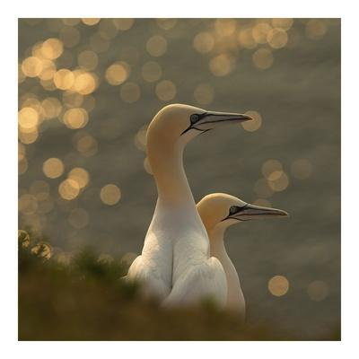 https://imgc.artprintimages.com/img/print/gannets-in-sunset_u-l-f8whpw0.jpg?p=0
