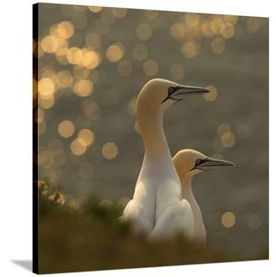 Gannets In Sunset-Karen Kolbeck-Stretched Canvas Print
