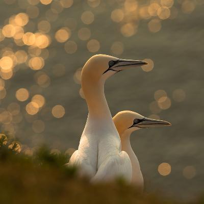 Gannets in Sunset-Karen Kolbeck-Photographic Print