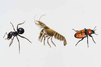 Garden Ant (Lasius Niger)--Giclee Print