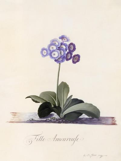 Garden Auricula, Fille Amoureuse, C.1743-Georg Dionysius Ehret-Giclee Print