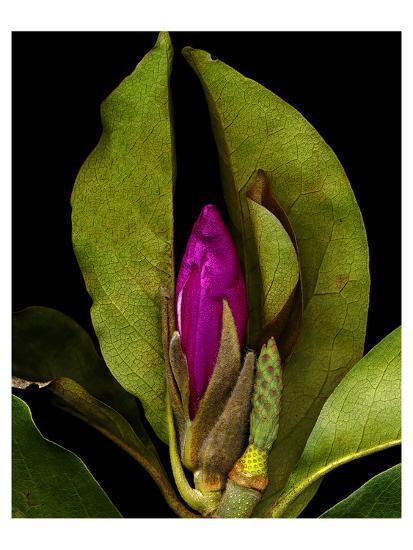 Garden Bud pink brown II--Art Print