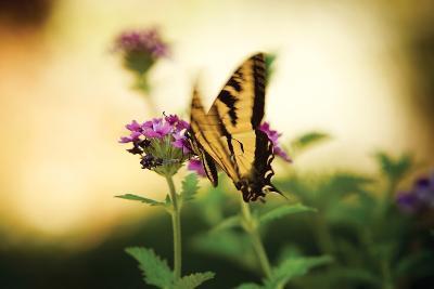 Garden Butterfly III-Philip Clayton-thompson-Photographic Print