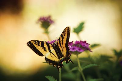 Garden Butterfly IV-Philip Clayton-thompson-Photographic Print