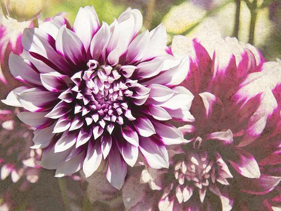 Garden Dahlias III-George Johnson-Photographic Print