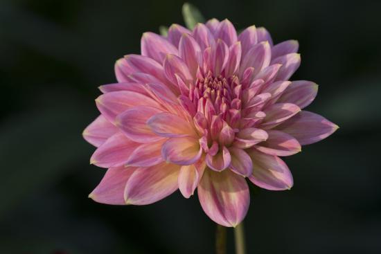 Garden Flower--Photographic Print