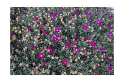 Garden Flowers,Ice Plant-Henri Silberman-Photographic Print