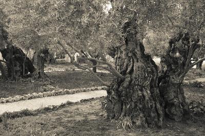 Garden of Gethsemane, Mount of Olives, Jerusalem, Israel--Photographic Print