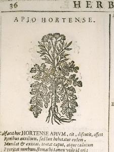 Garden Parsley (Petroselinum Crispum), 1585