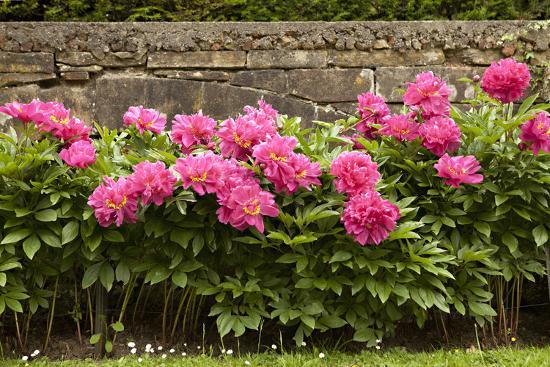 Garden Peonies II-Karyn Millet-Photographic Print