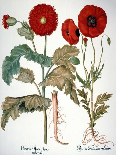 Garden Poppy-Besler Basilius-Giclee Print