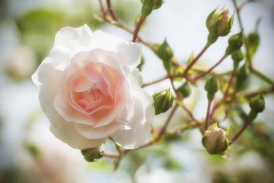 Garden Rose-Marco Carmassi-Photographic Print