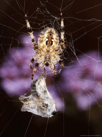 Garden Spider on Web with Prey, Middlesex, UK-O'toole Peter-Photographic Print