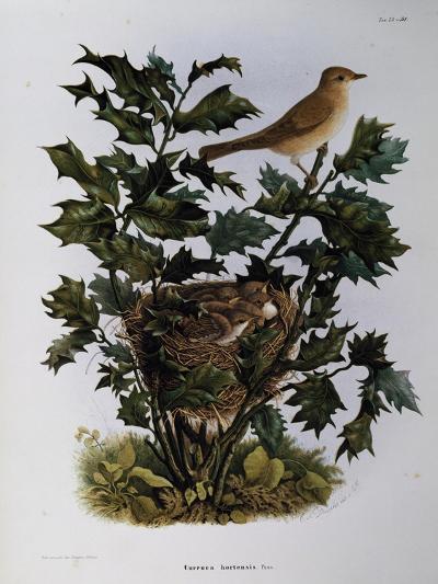 Garden Warbler (Sylvia Hortensis)--Giclee Print