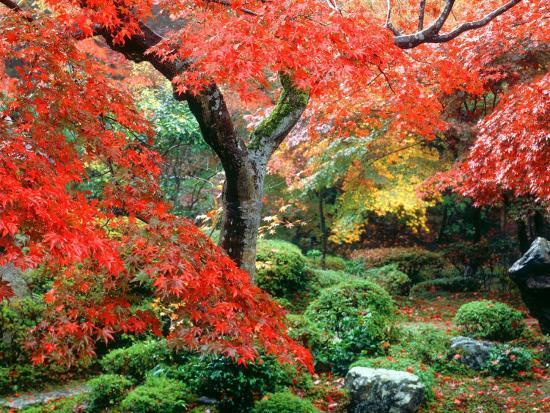 Garden with Maple Trees in Enkouin Temple, Autumn, Kyoto, Japan--Photographic Print